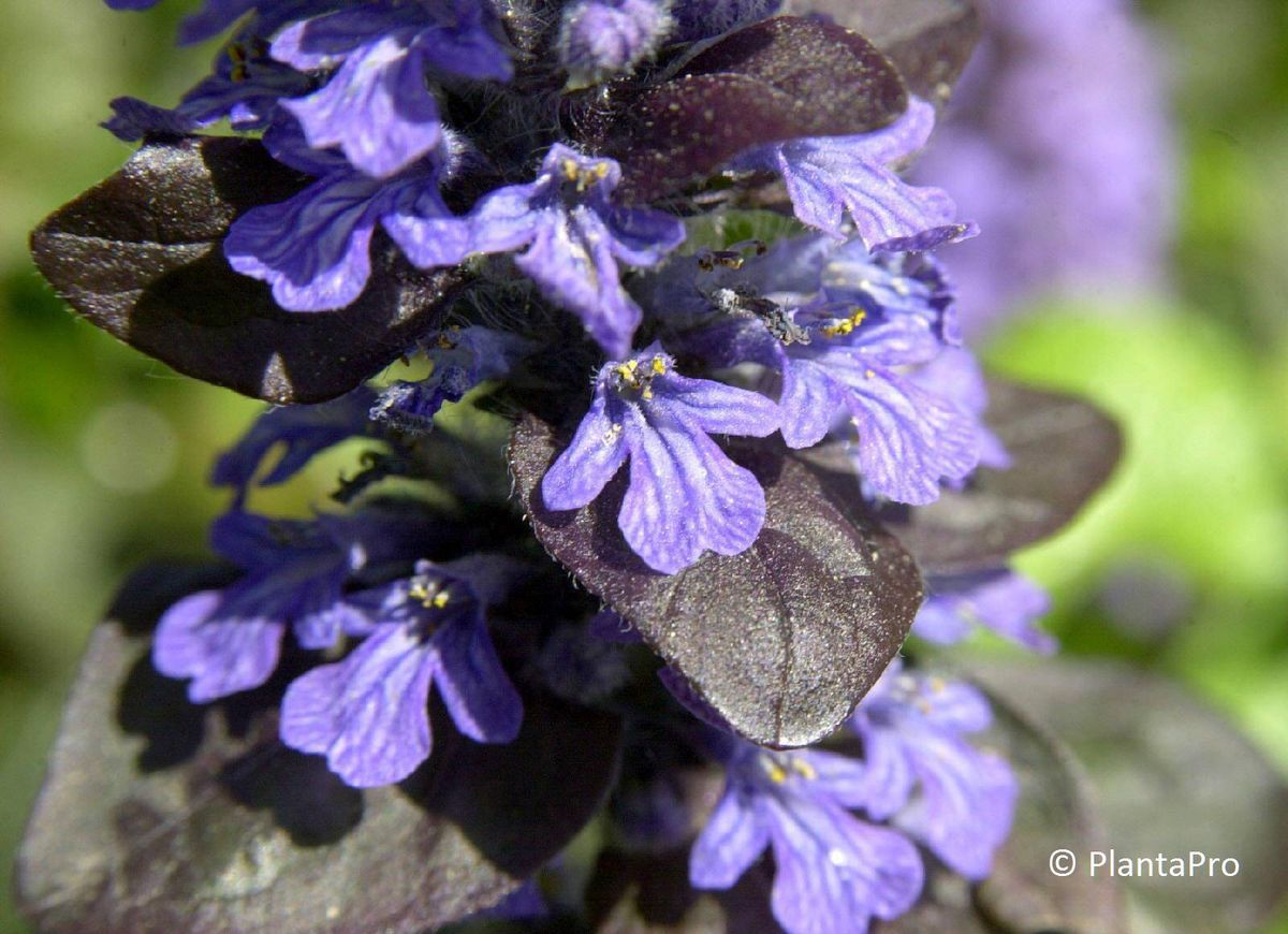 ajuga reptans 39 atropurpurea 39 pflanzenverkauf schweiz. Black Bedroom Furniture Sets. Home Design Ideas